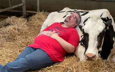 Knuffelen met koeien